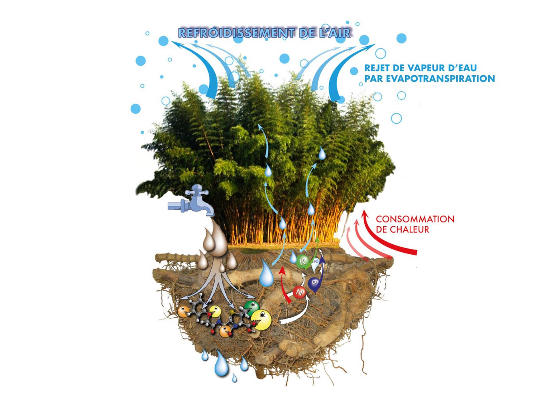 ilots-de-fraicheur-rafraichissement-bioclimatique-bambou-bamboo-for-life-Effet-adiabatique