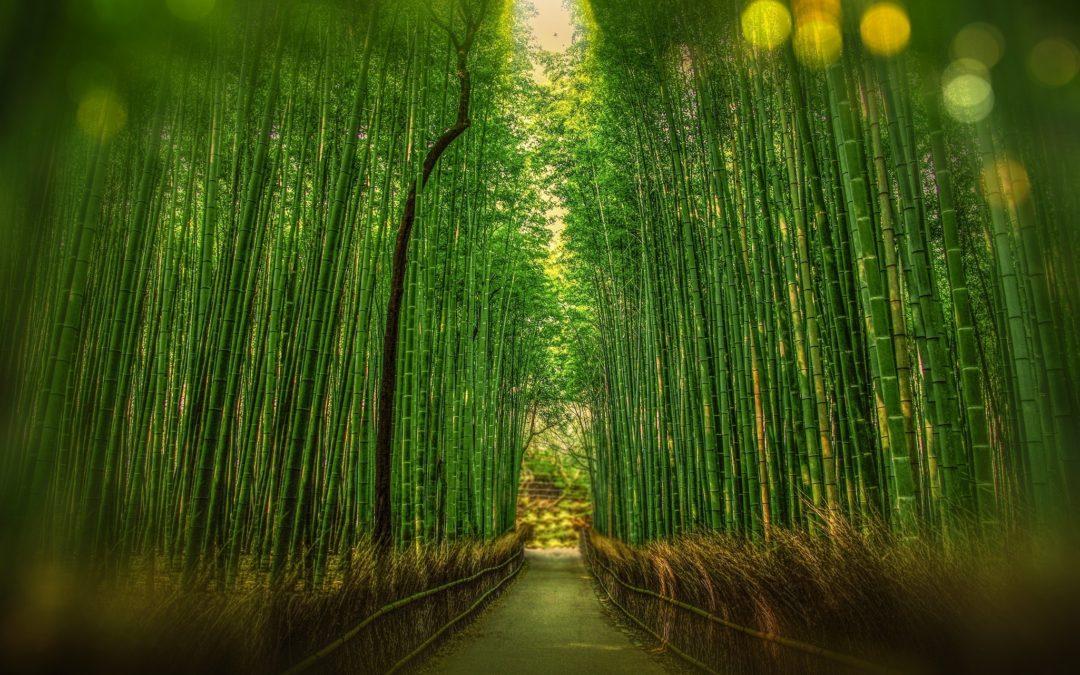 forêt-bambou